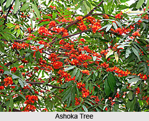 Ashoka Tree, Indian Medicinal Plant