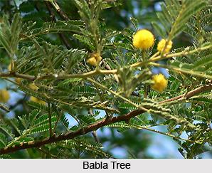 Babla/Babula, Indian Medicinal Plant