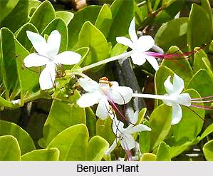Benjuen, Indian Medicinal Plant