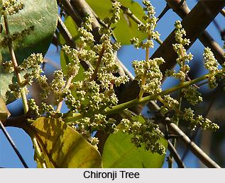 Chironji, Indian medicinal plant