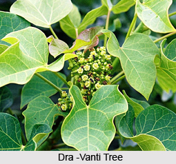 Dra-Vanti, Indian Medicinal Plant