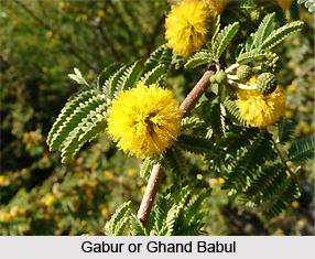 Gabur, Ghand Babul, Indian Medicinal Plant