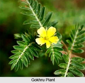 Gokhru, Indian Medicinal Plant