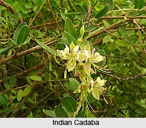 Indian Cadaba, Indian Medicinal Plant