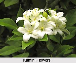 Kamini, Indian Medicinal Plants
