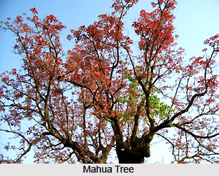 Mahua, Indian Medicinal Plants