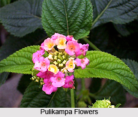 Pulikampa, Indian Medicinal Plant