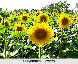 Suryamukhi, Indian Medicinal Plant