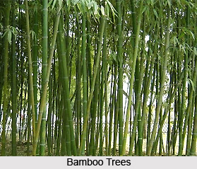 Bamboo , Indian Plant