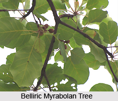 Belliric Myrabolan , Indian Plant