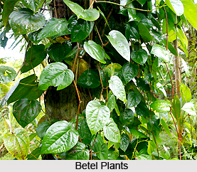 Betel Leaves, Indian Plant