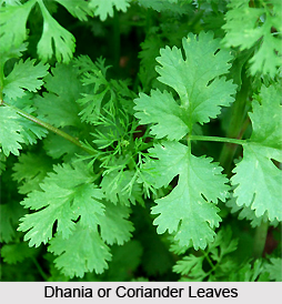 Dhania, Indian Medicinal Plant