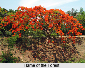 Flame of the Forest , Indian Plant