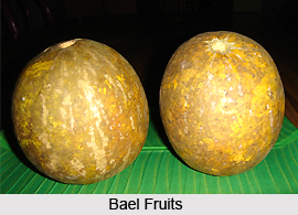 Bael Fruit , Indian Plant