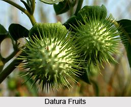 Datura, Indian Herb