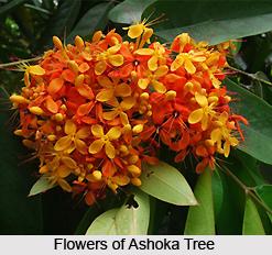 Saraca Indica , Indian Plant