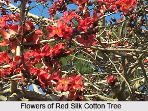 Red Silk Cotton , Indian Plant