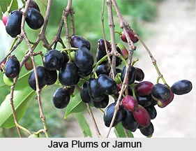 Java Plum , Indian Plant