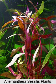 Alternanthera Sessilis, Indian Medicinal Plants