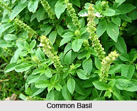 Arjaka, Common Basil
