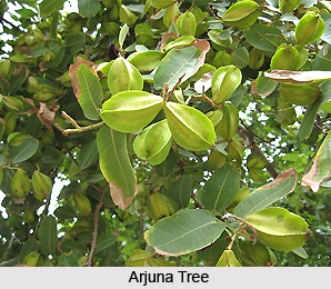 Arjuna  , Indian Plant