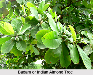 Badam, Indian almond tree, Indian Medicinal Plant