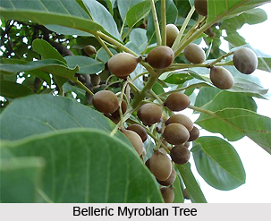 Belleric Myroblan, Indian Plant
