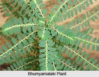 Bhumyamalaki, Indian Medicinal Plant
