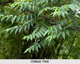 Chikun, Indian Medicinal Plant
