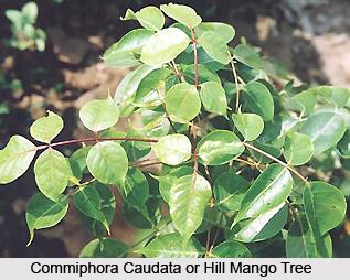 Commiphora caudata, Indian Medicinal Plant