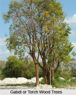 Gabdi, Torch wood tree, Indian Medicinal Plant