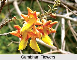Gambhari, Indian Medicinal Plant