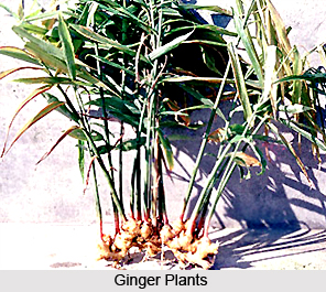 Ginger Plant, Indian Medicinal Plant