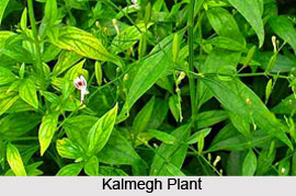 Kalmegh Tree, Indian Medicinal Plant