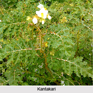 Kantakari, Indian Herb