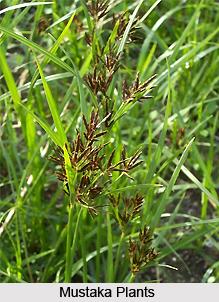 Mustaka, Indian Medicinal Plant