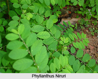 Phyllanthus/ Niruri , Indian Herb