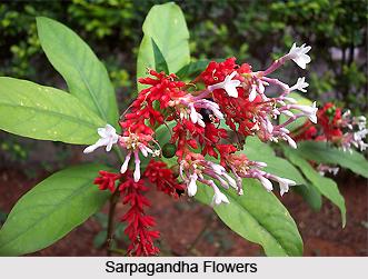 Sarpagandha, Indian Medicinal Plant