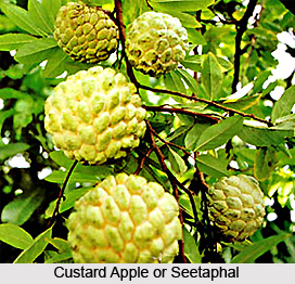 Seetaphal, Custard Apple Tree, Indian Medicinal Plant