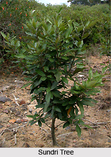 Sundri, Indian Medicinal Plant