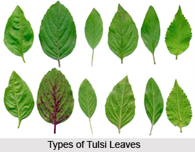 Types of Tulsi  Plants