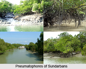 Sundarbans Freshwater Swamp Forests in India