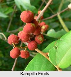 Kampilla, Indian Medicinal Plant