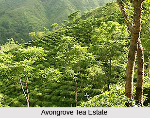 Avongrove Tea Estate