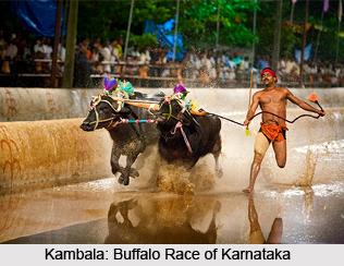 Kambala,  A Buffalo Race,Karnataka