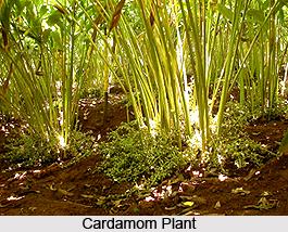 Lesser Cardamom