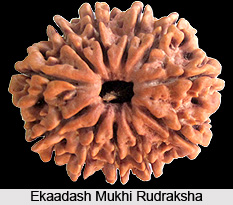 Ekaadash Mukhi Rudraksha