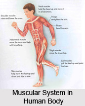 Impact of Yoga Asanas on Muscular System