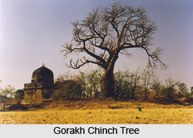 Gorakh Chinch, Indian Tree