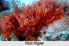 Algae